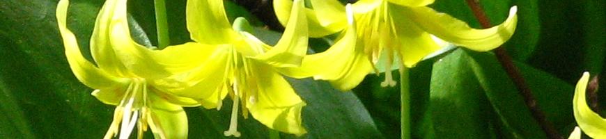 Erythronium