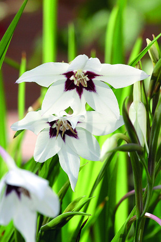 Acidanthera (Gladiolus callianthus)