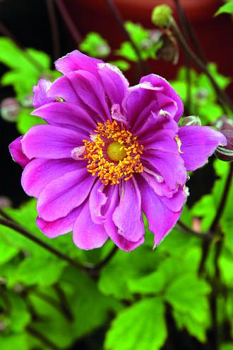 Anemone Perennials