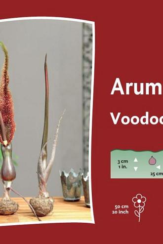 Cornutum (Venosum)