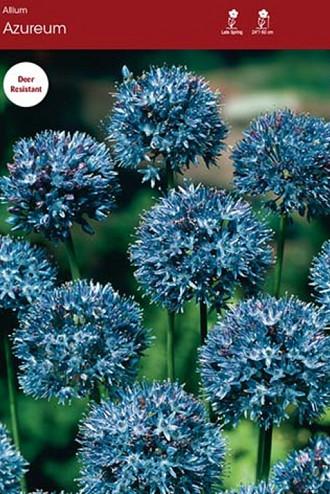 caeruleum (Azureum)