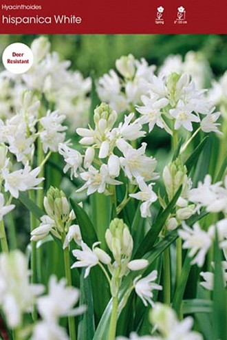 campanulata White