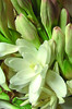 Polianthes